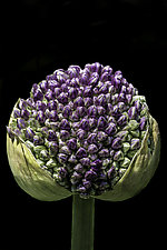 Allium by Barry Guthertz (Color Photograph)