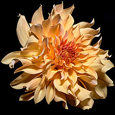 Peach Dahlia by Barry Guthertz (Color Photograph)