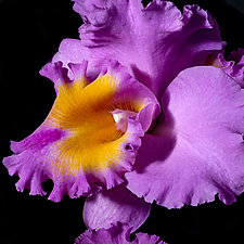 Magenta Orchid by Barry Guthertz (Color Photograph)