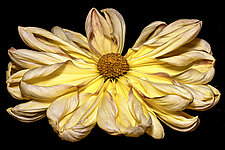 Yellow Chrysanthemum by Barry Guthertz (Color Photograph)