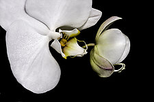 Dancing Orchids by Barry Guthertz (Color Photograph)
