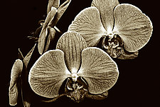 Floating Orchids by Barry Guthertz (Hand-Colored Photograph)