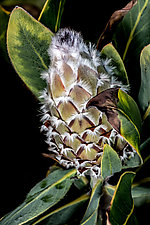 Golden Protea by Barry Guthertz (Color Photograph)