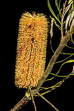 Banksia by Barry Guthertz (Color Photograph)