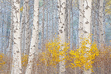Aspens and the Blue Light by Charlotte Gibb (Color Photograph)