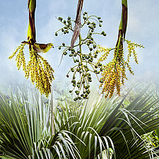 Loulu Palm by Patricia Barry Levy (Giclee Print)