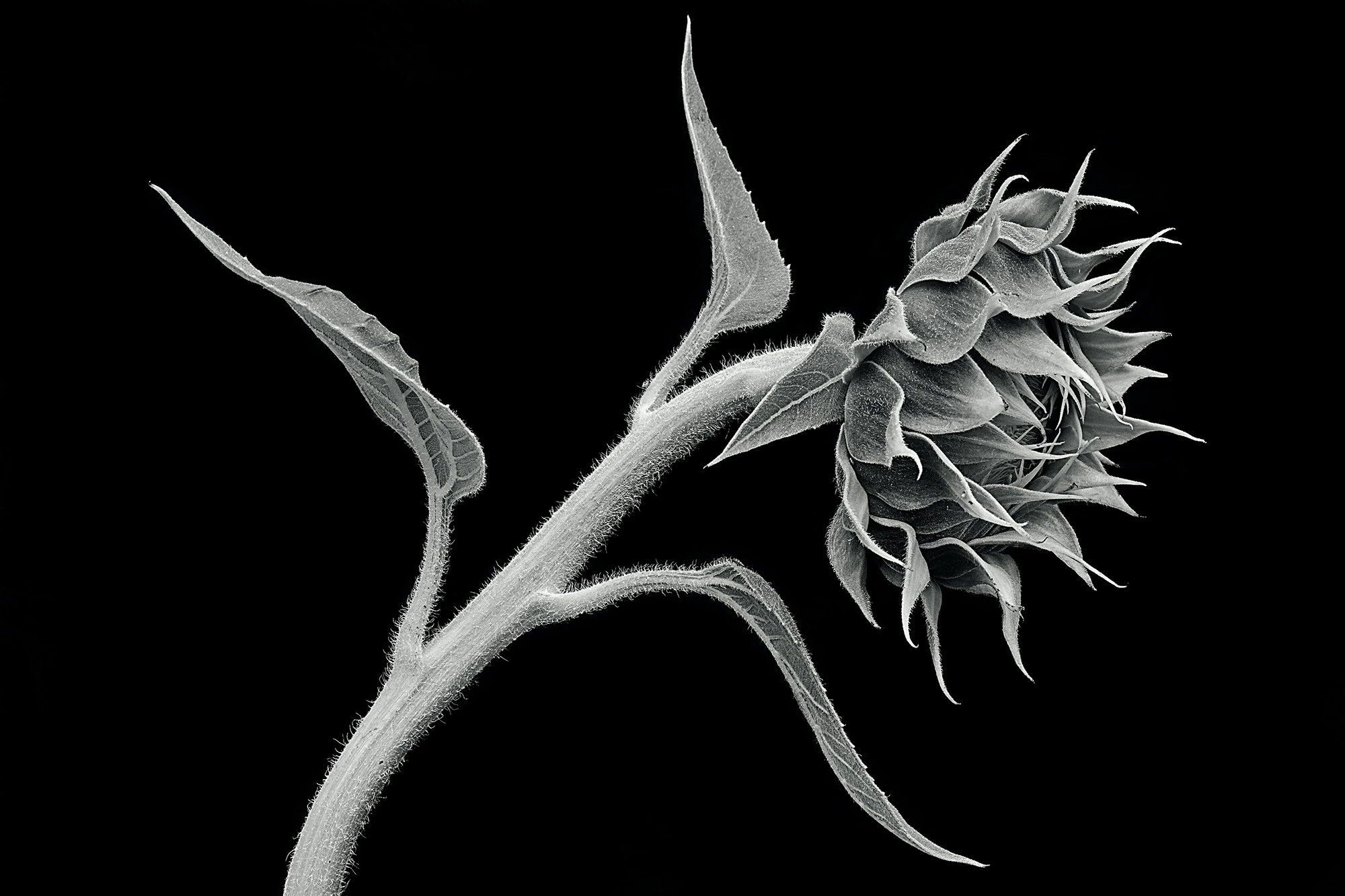Sunflower Still Life By Mike Cable Black White Photograph