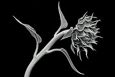 Sunflower Still Life by Mike Cable (Black & White Photograph)