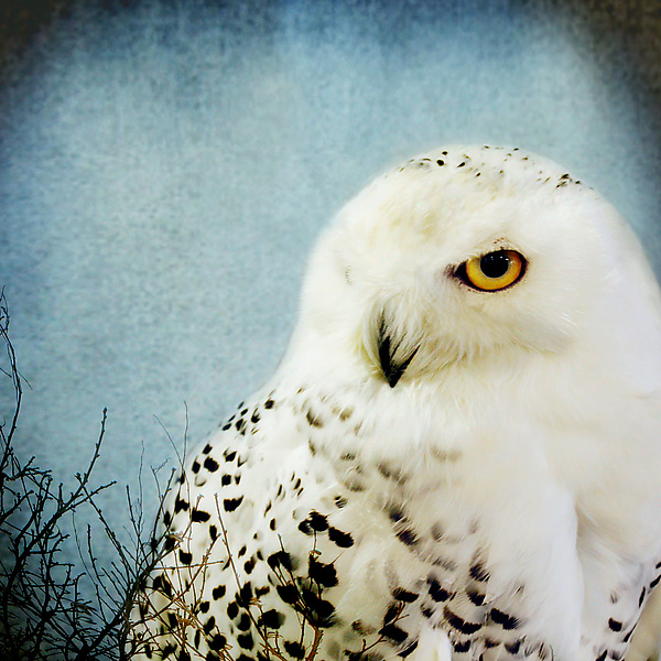 Song of a Snowy Owl