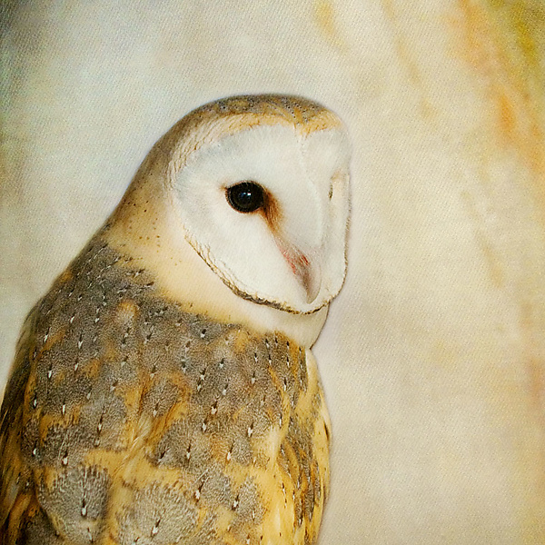 Song of a Barn Owl II
