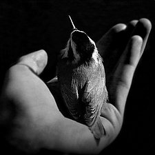 In My Hand - Red-Breasted Nuthatch by Yuko Ishii (Black & White Photograph)