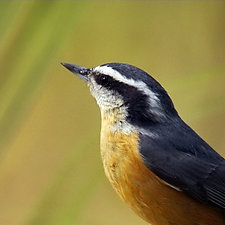 Song of a Red-breasted Nuthatch III by Yuko Ishii (Color Photograph)