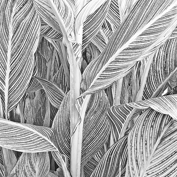 Canna Stalk and Leaves