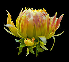 Opening Dahlia Bud by Russ Martin (Color Photograph)