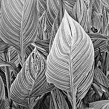 Striped Canna Leaves by Russ Martin (Black & White Photograph)