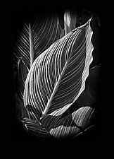 Single Canna Leaf by Russ Martin (Black & White Photograph)