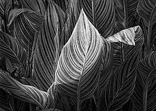 Backlit Canna Leaf by Russ Martin (Black & White Photograph)
