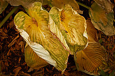 Two Wilted Hosta Leaves by Russ Martin (Color Photograph)