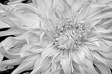 Dahlia I by Russ Martin (Black & White Photograph)