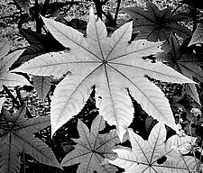 Big Star Shaped Leaf by Russ Martin (Black & White Photograph)