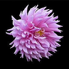 Pink Dahlia Ball by Russ Martin (Color Photograph)