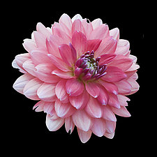 Pink and White Dahlia by Russ Martin (Color Photograph)