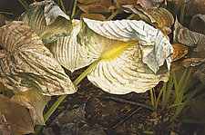Folded Over Leaf by Russ Martin (Color Photograph)