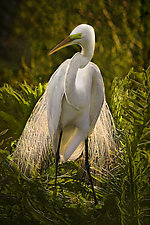 Egret Adorned by Melinda Moore (Color Photograph)