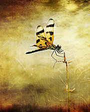 Dragonfly Light by Melinda Moore (Color Photograph)