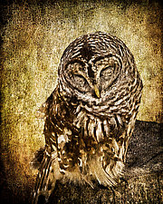 Sleepy Owl Small by Melinda Moore (Giclee Print)