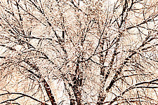 Taos Tree by Richard Speedy (Color Photograph)