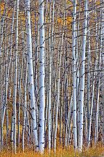 Aspens by Richard Speedy (Color Photograph)