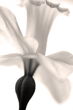 Daffodil in Flight by Richard Speedy (Black & White Photograph)