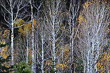 Aspen Grove by Richard Speedy (Color Photograph)