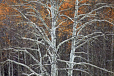Snow Encrusted Aspen by Richard Speedy (Color Photograph)