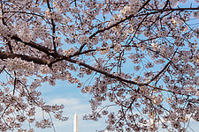 Blossoms over Washington by Terry Thompson (Color Photograph)