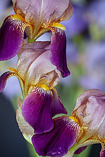 Iris Fantasy by Terry Thompson (Color Photograph)