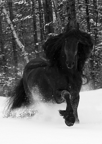 Friesian Stallion in a Snowy Forest