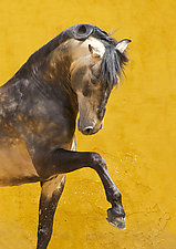 Proud Lusitano Stallion by Carol Walker (Color Photograph)