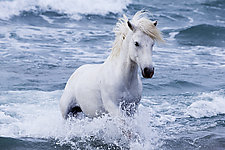 White Stallion in the Waves by Carol Walker (Color Photograph)