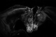 The Stallion and the Mare by Carol Walker (Black & White Photography)