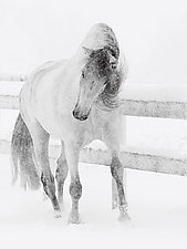 Snowy Mare by Carol Walker (Black & White Photograph)
