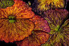 Lily Pads in Autumn by Barry Guthertz (Color Photograph)