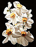 Narcissus by Barbara Buer (Giclée Print)