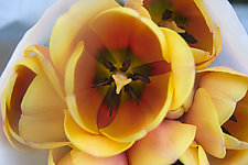 Yellow Tulip by Katherine Morgan (Color Photograph)