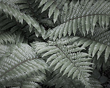 Fern Leaves in Spring No. 1 by Steven Keller (Color Photograph)