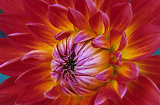 Dahlia II by Patricia Garbarini (Color Photograph)