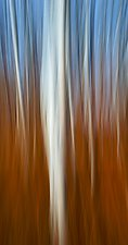 Aspens, Late Fall No.5 by James Bourret (Color Photograph)