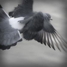 Rock Dove in Flight 1 by Steven Keller (Color Photograph)