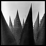 Agave Wall Panel by Jenny Lynn (Black & White Photograph)
